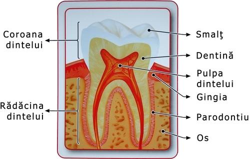 Anatomia dintilor si a canalelor radiculare